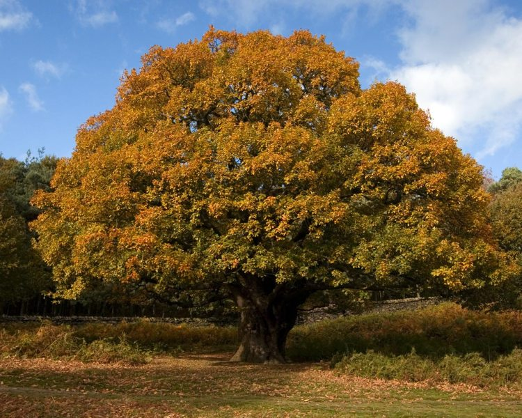 Temperate Climate Permaculture: Permaculture Plants: Oak