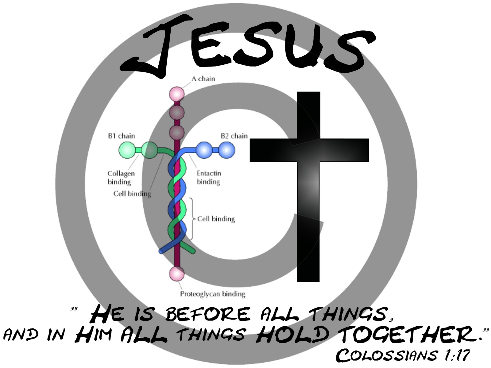 Big E Reveals: Laminin - The Cross Shaped Molecule That ...